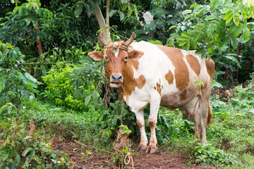 A dairy white cow with patches of brown, tied to a tree stump. Shot in Uganda in May 2017.