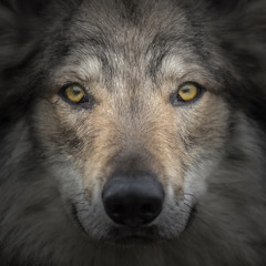 Face to face meeting with strong grey wolf staring head Canis lupus. Close up portrait of wolf head with gazing eyes. Creative detail photography of animal.