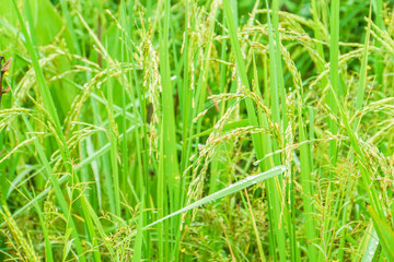 close up gold grains on rice plant in green field