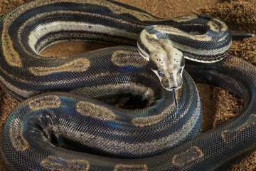 Close up of Boa constrictor imperator – mutational form Motley – Snow, female