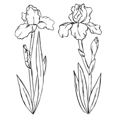 vector contour iris spring flowers with leaf set pattern coloring book