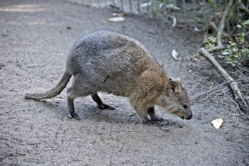 quokka side view
