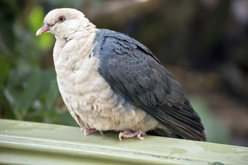 A white headed pigeon