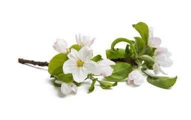 branch of an apple-tree with flowers isolated