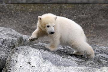 Deurstickers Ijsbeer Junger Eisbär (Ursus maritimus), Captive, Deutschland, Europa