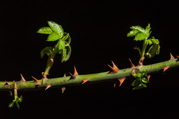 Branch of a rose with spines on which shoots of new shoots of green leaves grow isolated on a black background
