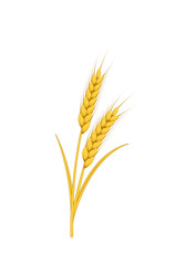 Ears of ripe yellow wheat on white background.