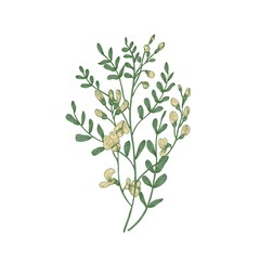 Detailed botanical drawing of Sphaerophysa salsula or alkali swainsonpea with yellow flowers and green leaves isolated on white background. Beautiful flowering plant. Natural vector illustration.