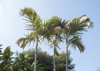 Dypsis Lutescens.
