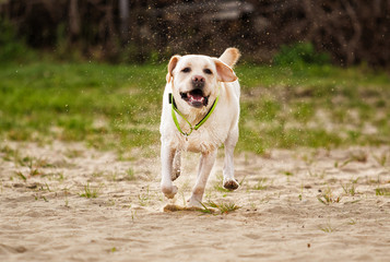 beige labrador dog running