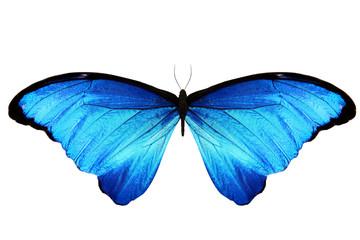 Бабочка Морфо с большими синими крыльями, изолирована на белом