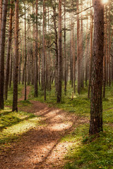 Path in the deep pine forest. Nature and wilderness concept. Tree background. Wood pattern.  Bright sun rays shining through mighty tree trunks. Wild forest concept.