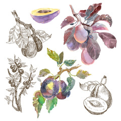 Big Set of watercolor fruit plum branch isolated on white background. Hand drawn painting. Linear sketch botanical illustration.