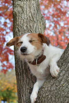 JACK RUSSELL DOG WITH CLOSED EYES PERCHED IN TREE
