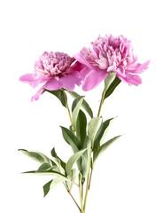 pink peony isolated on white background