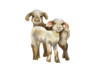 Lambs.Watercolor illustration on white background.