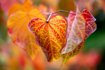 Red and Yellow Autumn Fall Leaves with a selective focus in Adelaide South Australia on 12th April 2018