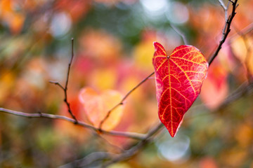A single Red and Yellow Autumn Fall Leaves with a selective focus in Adelaide South Australia on 12th April 2018