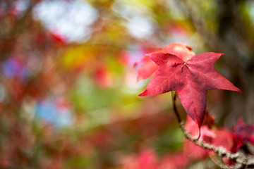 A single Red Autumn Fall Leaves with a selective focus in Adelaide South Australia on 12th April 2018