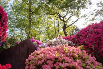 Nezu shrine's azalea, Tokyo, Japan