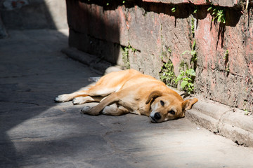 Portrait of Homeless red dog lying on the streets of Kathmandu, Nepal