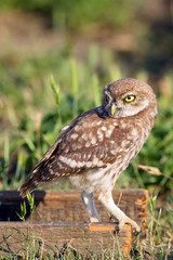 The little owl (Athene noctua) sitting on the wood with green background in the evening and looking to objective.