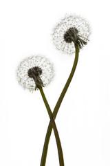 Dandelions (blowballs) on white background