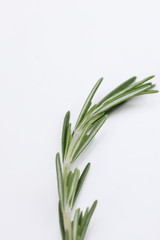 Single sprig of fresh rosemary on white, an aromatic potherb used for seasoning and flavoring in cooking