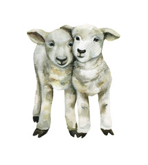 White lambs.