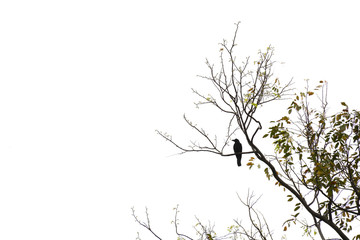 A single crow sitting on a tree branch isolated on white background