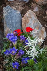 Edelweiß und Enzian. Berblumen, Alpenblumen.