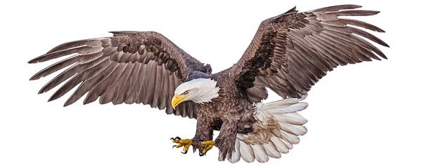 Bald eagle flying swoop hand draw and paint color on white background vector illustration.
