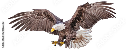 Wall mural Bald eagle flying swoop hand draw and paint color on white background vector illustration.