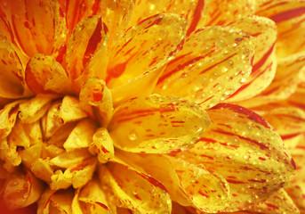 Beautiful flower Dahlia close-up