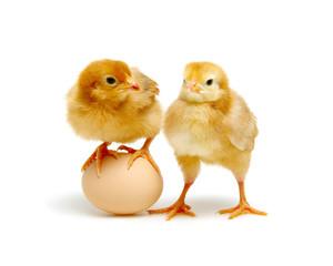 brown egg and chicks