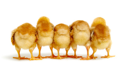 Chicks isolated on white background