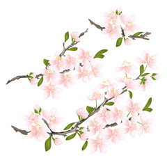 Sakura cherry twigs pink  flower with leaves on a white background vintage vector illustration editable hand draw