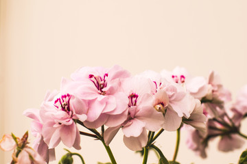 Fresh pink flowers on background