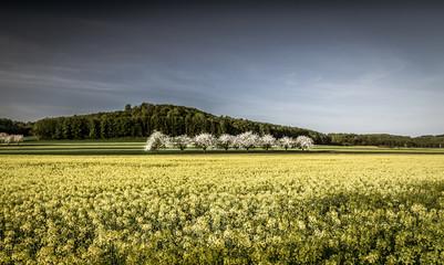 pola rzepaku i kwitnące jabłonie
