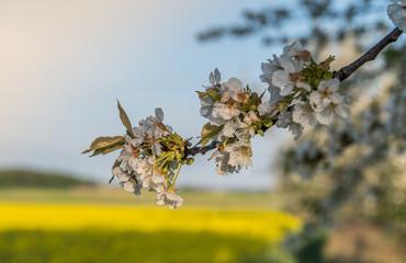 gałąź czereśni kwitnąca