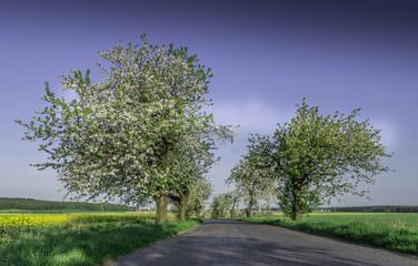 kwitnące czereśnie przy drodze