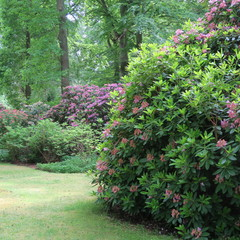Walk in the park with huge rhododendron bushes
