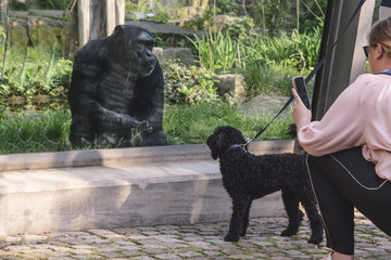 woman with a dog takes a picture of a big monkey in a zoo