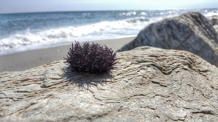 Sea Urchin on the Rock