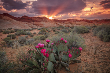 Papiers peints Cactus Colorful sunset with cactus flowers in Valley of Fire, Nevada, USA.