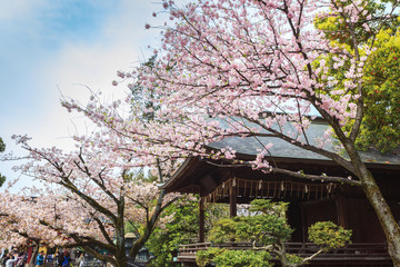 Beautiful sakura cherry blossom in Ueno park, spring season at Tokyo, Japan