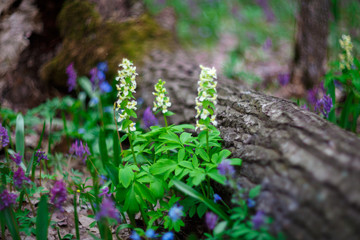 Very beautiful spring forest flowers