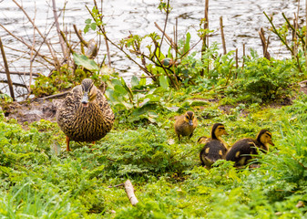 Female mallard duck with ducklings at Longton Brickcroft nature reserve, Longton, Lancashire, UK