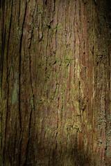 Cedar Tree Trunk