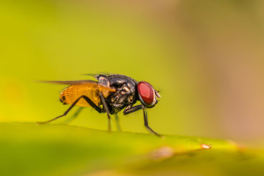 Blow fly, carrion fly, bluebottles or cluster fly